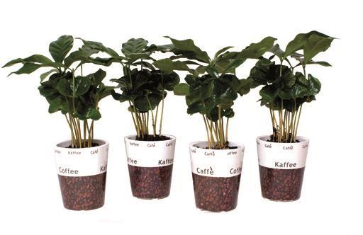 Coffea arabica T 6 MINI Dekotopf