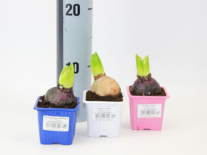 Hyacinthus orientalis T 7 x 7 (1ppp) BLAU • VE 24