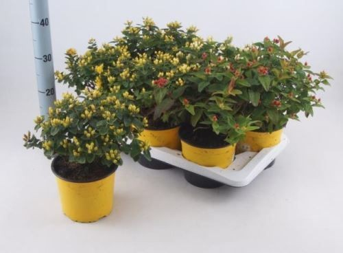 Hypericum androsaemum 'Magic Marbles' T 17 MIX