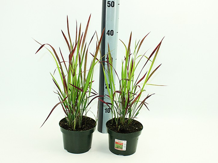 Imperata cylindrica 'Red Baron' T 13
