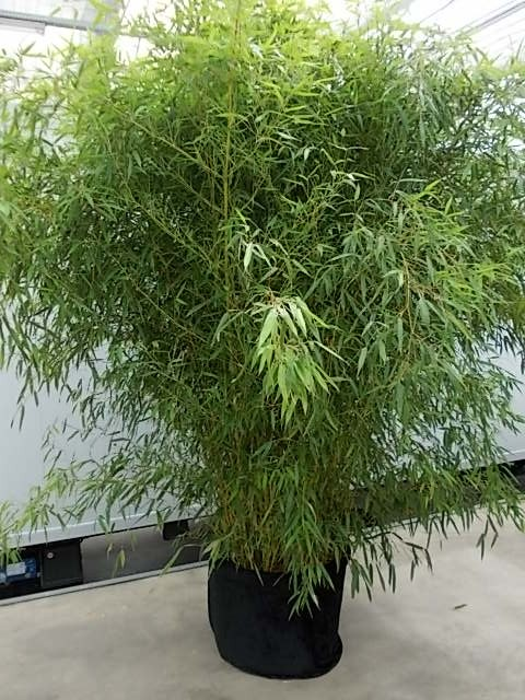 Leihpflanze Bambus 250-300 cm mit schwarzer Husse