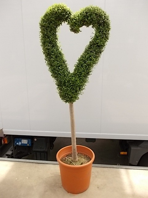 Leihpflanze Liguster Herz 160 cm