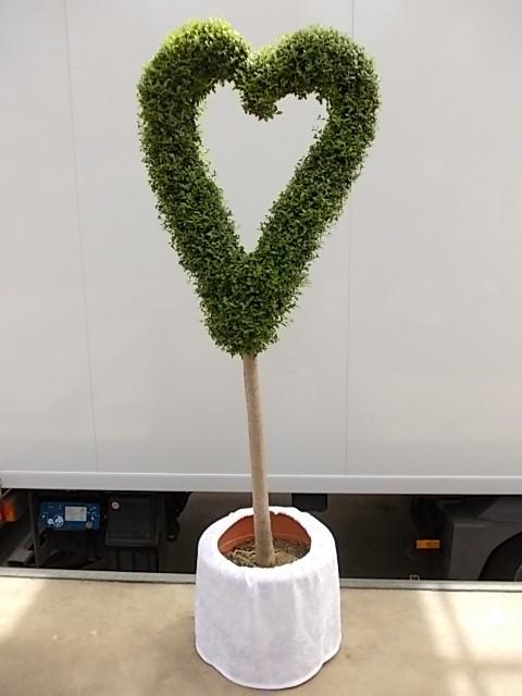 Leihpflanze Liguster Herz 160 cm mit weißer Husse