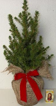 Picea glauca 'Conica' T 13