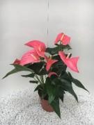 Anthurium-Andreanum-Hybr. T 17 (rosa) 'Maine' • VE 6