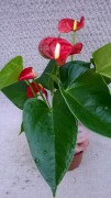 Anthurium-Andreanum-Hybr.T 10,5 (rot) 'Sierra Little' • VE 10