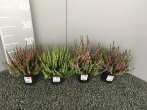 Calluna vulgaris   T 10   GardenGirls®   MIX-Lage