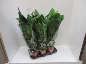 Spathiphyllum 'Strauss' T 17 • VE 6