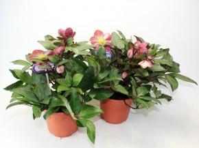 Helleborus x ericsmidtii 'HGC Pink Frost' T 19  • VE 3