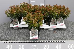 Leucothoe axillaris 'Curly Red' T 10 • VE 12