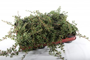 Cotoneaster microphyllus 'Queen of carpets' T 9 • VE 12