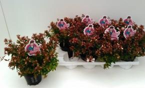 Abelia grandiflora T 13 'Postrata' • VE 8