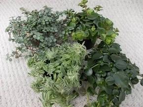 Grünpflanzen-Sortiment 'Country-Mix' T 5,5 MINI • VE 12
