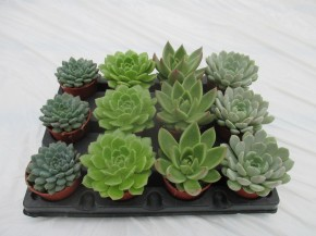 Echeveria T 6 Mini Mix • VE 12