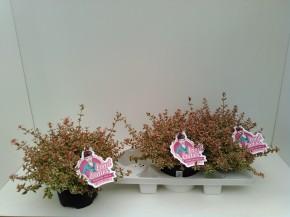 Abelia grandiflora 'Pink Lady' T 26 • VE 5