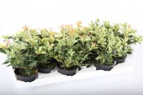 Osmanthus heterophylus 'Tricolor' T 10 • VE 12