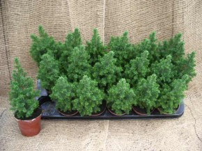 Chamaecyparis thyoides 'Top Point' T 9 • VE 18