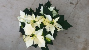 Euphorbia Pulcherrima Hybrid T 13 Gr. II, WEISS • VE 8