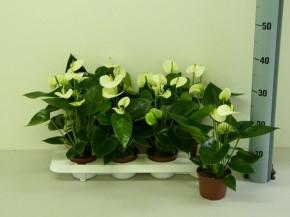 Anthurium-Andreanum-Hybr.T 10,5 (weiß) 'Sierra White' • VE 8