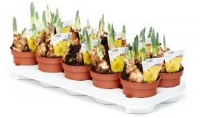 Narcissus 'Marieke' T 12 (4/5ppp) gelb • VE 10