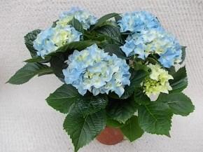 Hydrangea macrophylla T 13 (4-5 Blüten) BLAU • VE 6