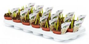 Scilla siberica 'Alba' T 9 WEISS (4/5ppp) • VE 18