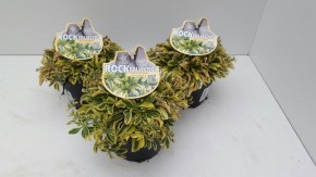 Arabis variegata T 13 • VE 8