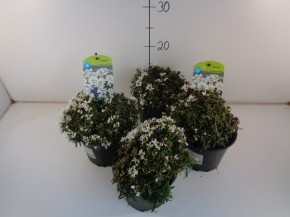 Iberis sempervirens 'Snow Cone' T 13 • VE 8