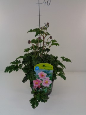 Anemone hupehensis japonica T 13 ROSA • VE 8