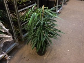Ficus binnendijkii 'Alii' T 21, 90 cm • VE 3