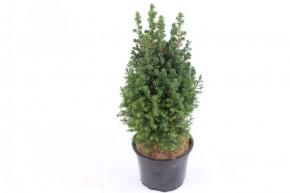 Chamaecyparis thyoides 'Top Point' T 15 • VE 6