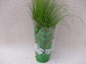Cyperus alternifolius 'Zumula' T 11 • VE 9