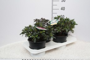 Rhododendron impeditum T 17 MIX-Lage