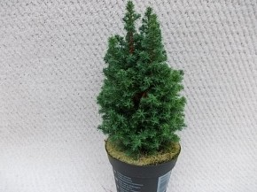 Chamaecyparis thyoides 'Top Point' T 13 • VE 8