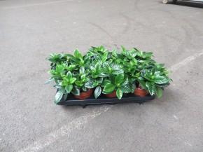 Gardenia jasminoides T 13 • VE 6
