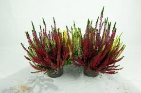 Calluna vulgaris T 13 BeautyLadies® QUATTRO