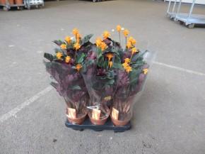 Calathea crocata T 14 (4-6 Blüten) • VE 6