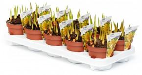 Tulipa tarda T 12 (12ppp) • VE 10