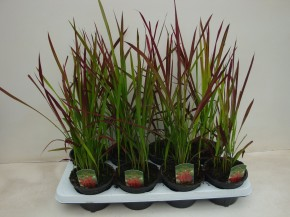 Imperata cylindrica 'Red Baron' T 13 • VE 8