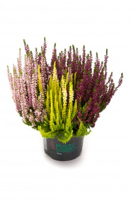 Calluna vulgaris T 13 BeautyLadies® TRIO • VE 8