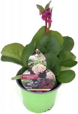 """Bergenia cordifolia """"Eroica"""" T 17 • VE 6"""