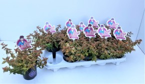 Abelia grandiflora 'Lady Summerdream' T 11 (buntlaubig, weiß) • VE 10