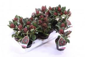 Skimmia japonica 'Rubella' T 10 (3-4 ROTE Dolden) • VE 12