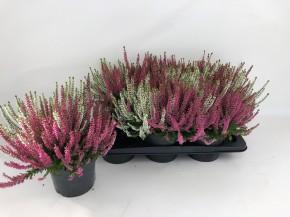Calluna vulgaris T 17 BeautyLadies TRIO • VE 6