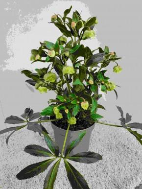 Helleborus x sahinii 'Winterbells' T 19