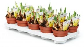 Narcissus 'Cassata' T 12 (4/5ppp) gelb • VE 10