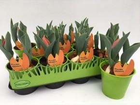 Tulipa-Hybriden T 11 (3ppp) ORANGE grüner Topf • VE 11