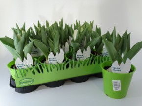 Tulipa-Hybriden T 11 (3ppp) WEISS grüner Topf • VE 11