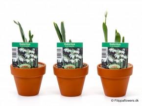 Galanthus nivalis T 7 Tontopf • VE 12