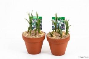 Fritillaria meleagris T 10 Tontopf • VE 15